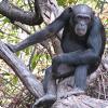 На кого охотятся шимпанзе, используя деревянные подобия копий?