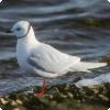 Какие птицы северного полушария отправляются на зимовку на север?