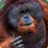 Самцы каких приматов могут задерживать собственного половое созревание более чем на десять лет?