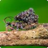Зачем клопы Acanthaspis petax таскают на своей спине множество трупов муравьёв?