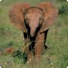 Каким образом укротители слонов добиваются их покорности?