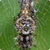Какие пауки умеют выделывать собственные копии?