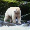 Где обитают медведи с белым мехом, не являющиеся родственниками полярным медведям?