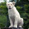 Где обитают белые львы?
