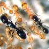 Какие виды муравьёв не могут даже самостоятельно питаться без помощи других муравьёв-рабов?