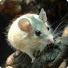 Какие млекопитающие способны полностью регенерировать кожу на месте ран?