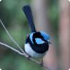 Какие птицы научились защищаться от кукушек трелью-паролем?