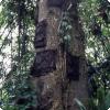 Какой народ хоронит младенцев в деревьях?