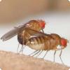 Какие насекомые склонны компенсировать любовные неудачи алкоголем?