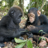 Чем определяется размер яичек у разных видов приматов?