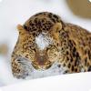 Какое правило нарушают дальневосточные леопарды?