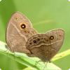 Каким образом время года влияет на брачное поведение бабочек?