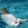 Какие кошки любят плавать и не боятся воды?