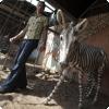 В каком зоопарке можно увидеть ослов, загримированных под зебр?