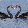 У каких птиц гомосексуальные пары используют суррогатных матерей?