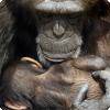 Почему самцы шимпанзе предпочитают старых самок молодым?