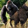 Почему некоторые гориллы носят научное имя gorilla gorilla gorilla?