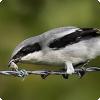 Какие хищные птицы перед съедением жертвы действуют как шашлычники?