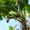 Почему бананы далеко не растут получай пальмах?