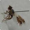 Зачем мухам Goniurellia tridens нужен картина получи крыльях во виде жучков?