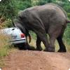 Чем объясняются случаи убийства носорогов африканскими слонами?