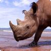 Чем отличаются белые носороги от чёрных носорогов?