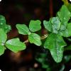 Какое растеньице может имитировать листья многих других растений бери одном равным образом фолиант но побеге?