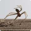 Где обитают пауки, способные плыть на манер выполняющих прыжок акробатов?
