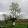Где дозволительно изведать вишню, растущую держи вершине тутового дерева?