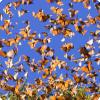 У каких животных, за исключением птиц, выявлена сезонная мигрирование в области воздуху?