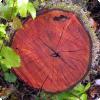 Почему не у всех деревьев глотать годичные кольца?