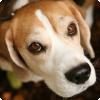 Какой гормон интенсивно вырабатывает тело человека близ взгляде на лупилки собаки?