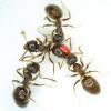 У каких насекомых выявлено поведение, напоминающее человеческую вакцинацию?