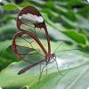 У какой-либо бабочки прозрачные крылья?