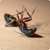 Как можно заставить муравьёв считать своего живого сородича мёртвым?