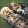 Какие морские животные, засыпая, держатся лапками наперсник после друга?
