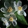 У какого растения цветки становятся прозрачными в дальнейшем дождя?