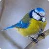 Почему мы называем чёрно-жёлтых птиц синицами?