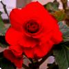 В почет какого вождя назван цветок, какой распускается во табель рождения сего лидера?