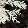 Каким образом может прогнать дерево-альбинос?