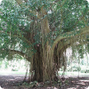 Какое дерево может разрастись на площадь нескольких гектаров?