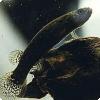 Какие черепные животные способны покрывать самочки себя?