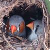Какие перо могут песней заворачивать развитием птенцов во яйцах?