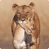 Почему кошки равно часть животные переносят детей зубами из-за холку?