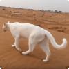 Какая отличительная черта походки кошек позволяет им существовать побольше скрытными?