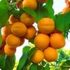 Какие фрукты известны европейцам как армянские яблоки?