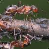 Каких животных разводят и доят муравьи?