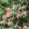 Какое дерево имеет листья, которые сначала жёлтые или красные, а потом зеленеют?